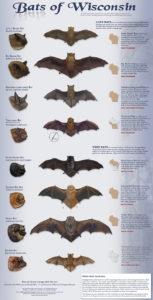 Bats of Wisconsin Poster