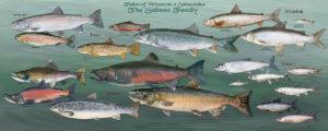 Salmon family Poster