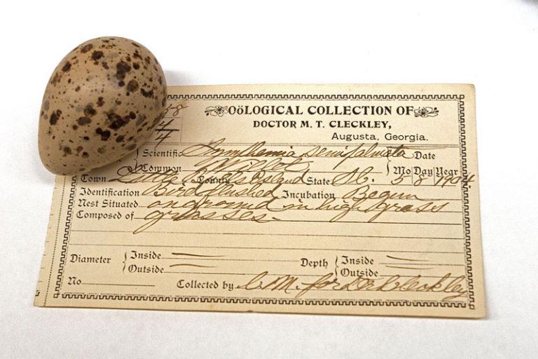 Willet egg ca 1904