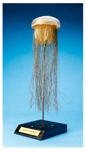 Jellyfish specimen