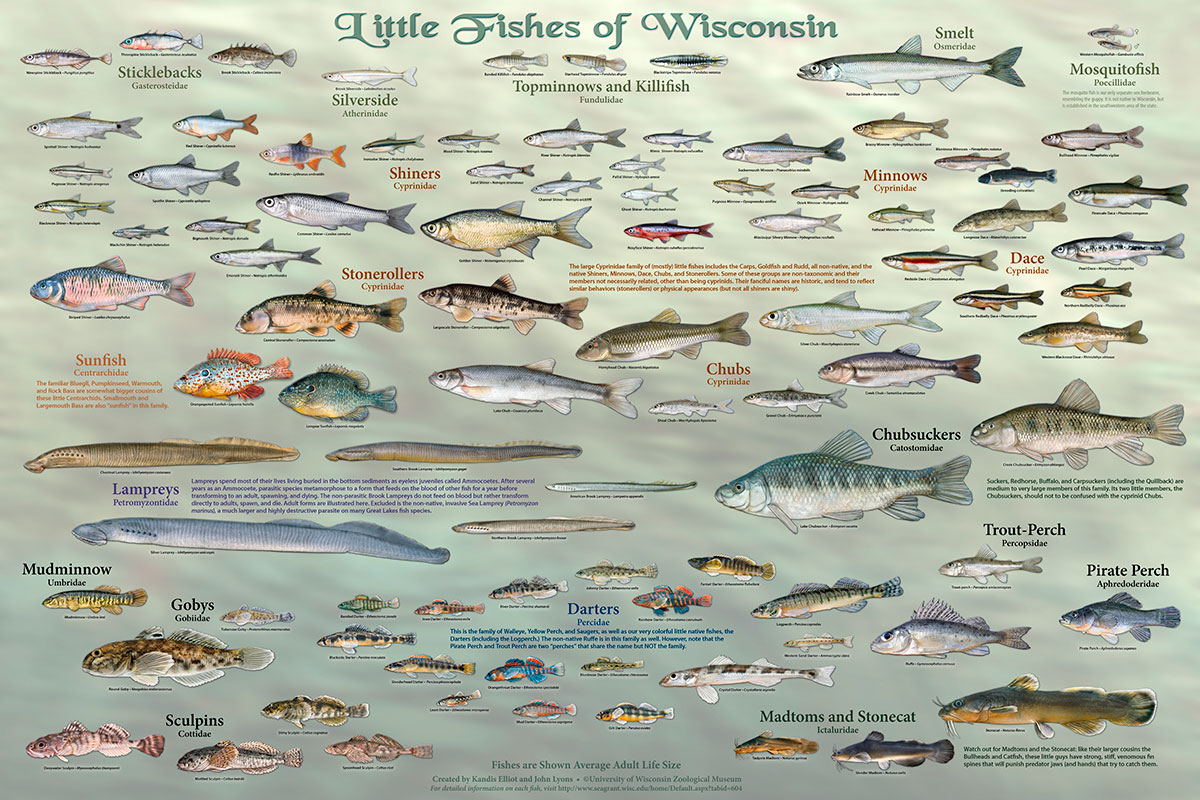 Little Fishes Of Wisconsin Poster