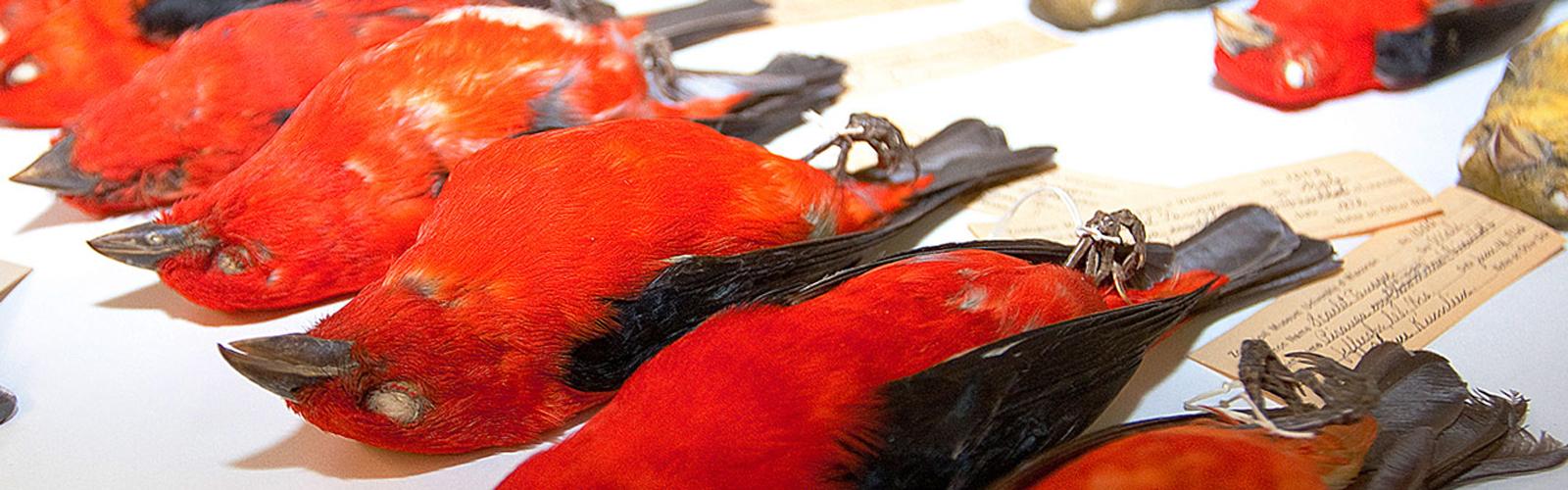 red bird specimens