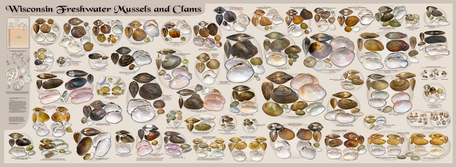 Wisconsin Freshwater Mussels and Clams Poster