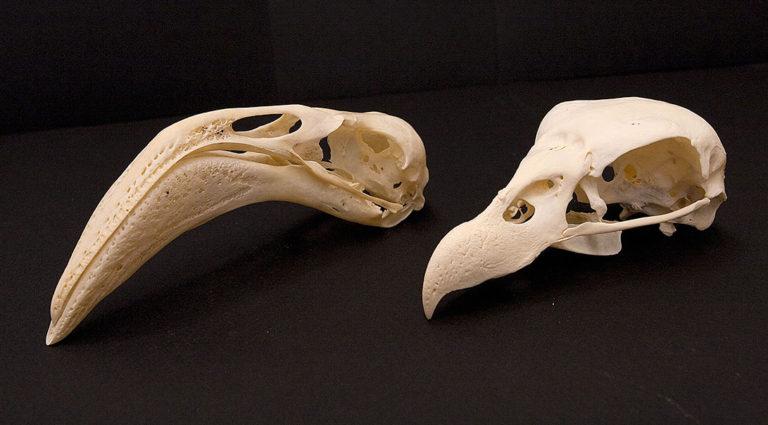 two bird skulls