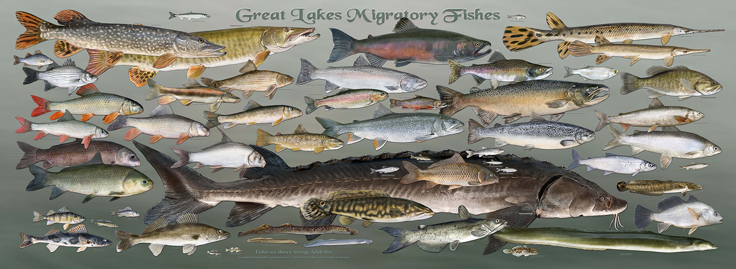 migratory fishes of the great lakes poster